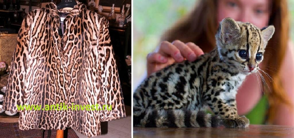 карликовый леопард